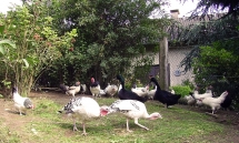 Hühnerhof mit Puten, Enten und Hühnern