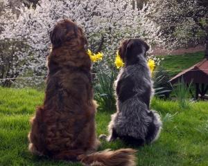 Zwei Hunde sehen sich die Kirschblüte an