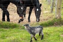 Zwei Pferde und ein Lamm