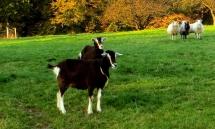 Zwei Ziegen und drei Schafe auf der Weide