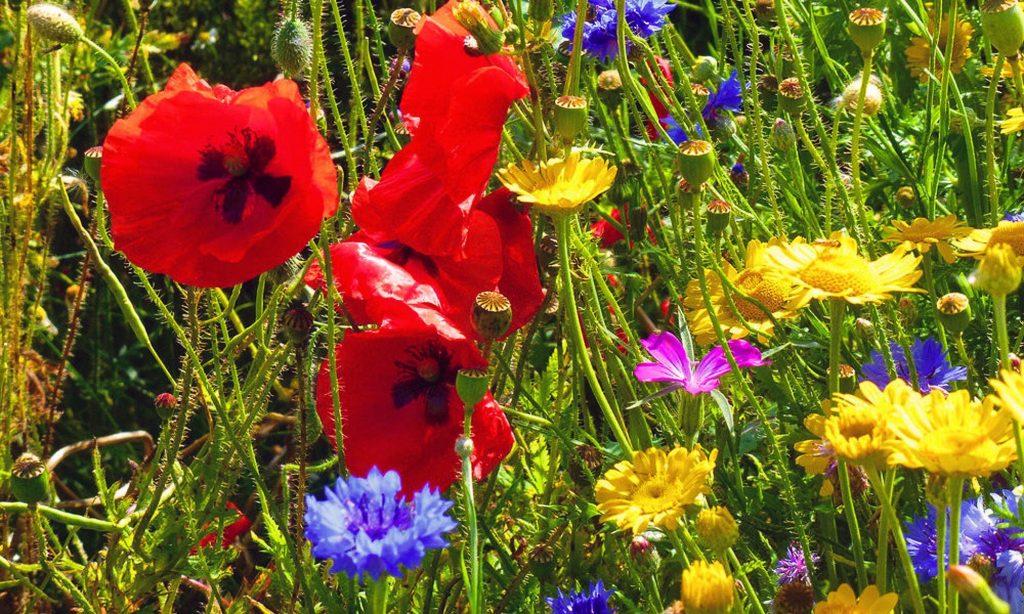 Bunte Blumenwiese mit Mohn und Kornblumen