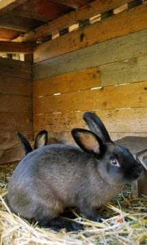 Zwei Kaninchen im Holzstall