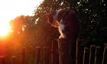 Die Katze Plisch putzt sich in der untergehenden Abendsonne