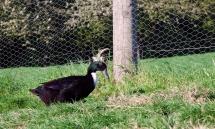 Eine Pommernente vor einem Zaun