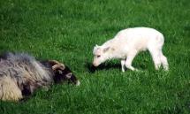 Ein Lamm nähert sich dem Schafbock