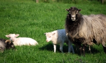 Zwei Lämmer, ein Schaf und ein Bock auf der Wiese