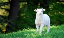 Ein kleines männliches Lamm schaut in die Kamera