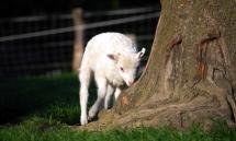 Ein Lamm untersucht die Baumwurzeln