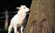 Ein Lamm beschnuppert die Baumrinde