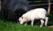Das Lamm frisst mit der Mutter zusammen im GVras