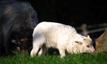 Das Lamm erkundet den Baumstumpf