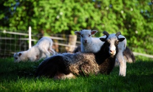 Mehrere Schafe zusammen auf der Weide
