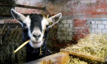 Eine Ziege im Stall
